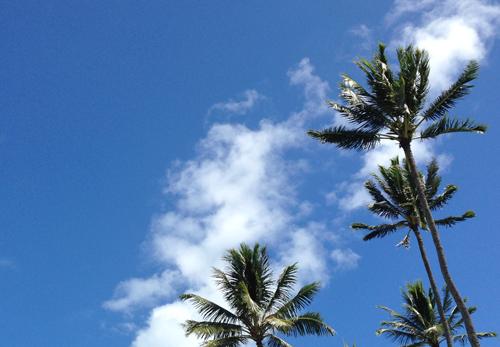 ヤシの木(ハワイにて)