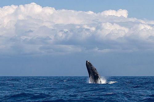 マウイ島のザトウクジラ