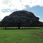 ハワイ「この木なんの木」は何という名前?場所と行き方は?