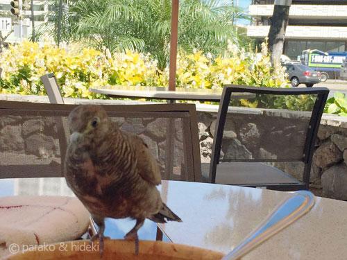 図々しい鳩(ホノルルコーヒー)