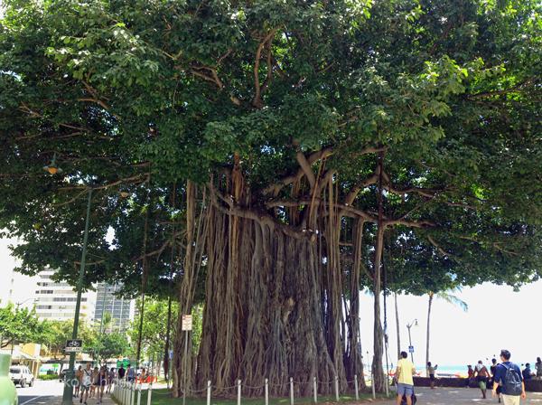バニアンの樹(ワイキキ)
