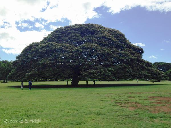 この木なんの木(モンキーポッド)