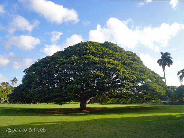 この木なんの木(ハワイ)