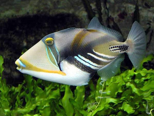 グアムで攻撃してくるムラサメモンガラ