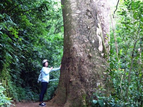 マノアフォールズトレイルの巨木