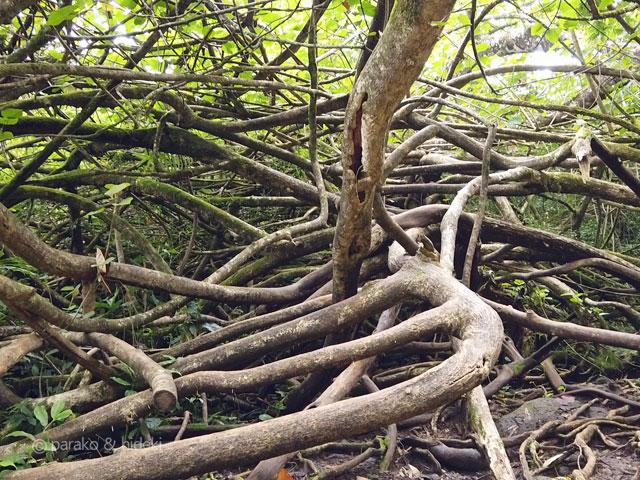 マノアの滝トレイルの木