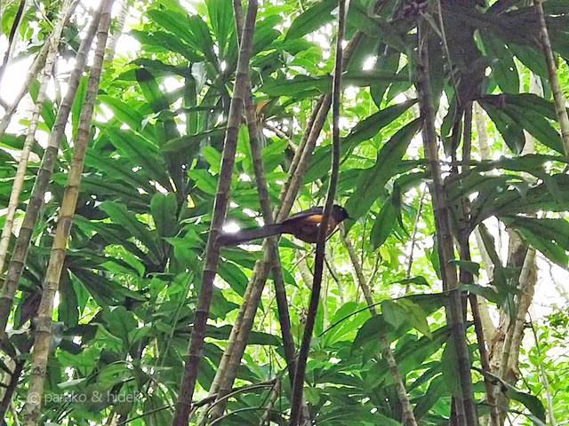 マノアの滝トレイルの鳥