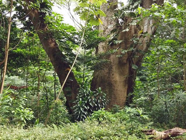 マノアの滝トレイルの巨木